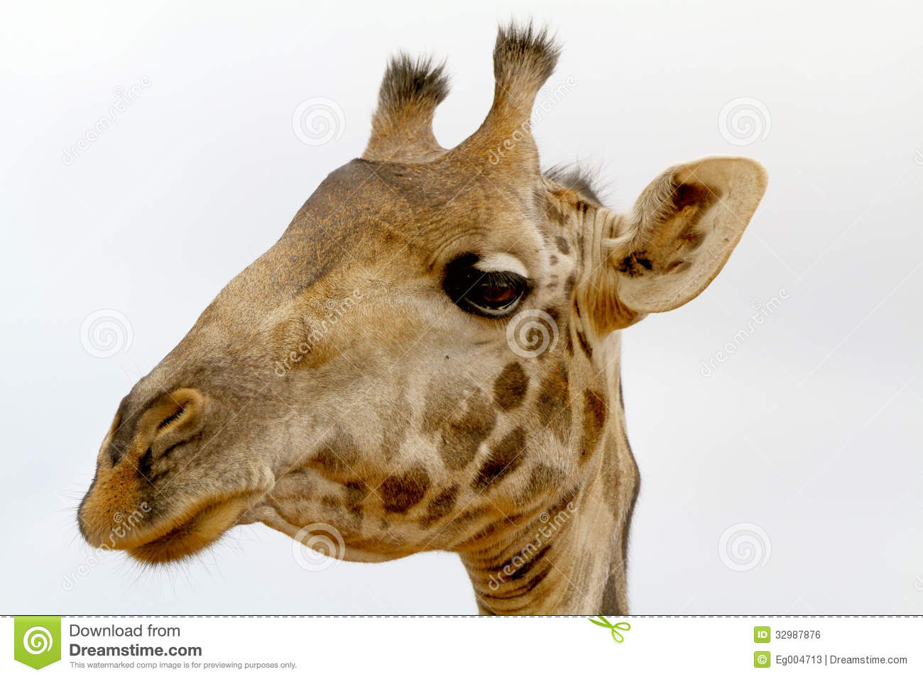 Giraffe head close up - photo#19