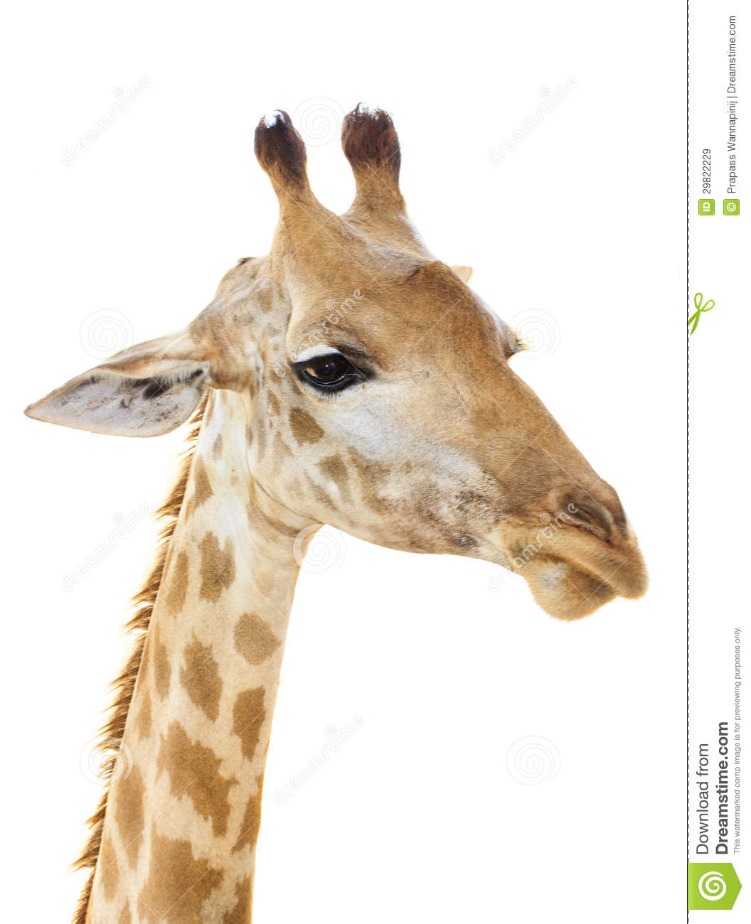 giraffe head white background - photo #48