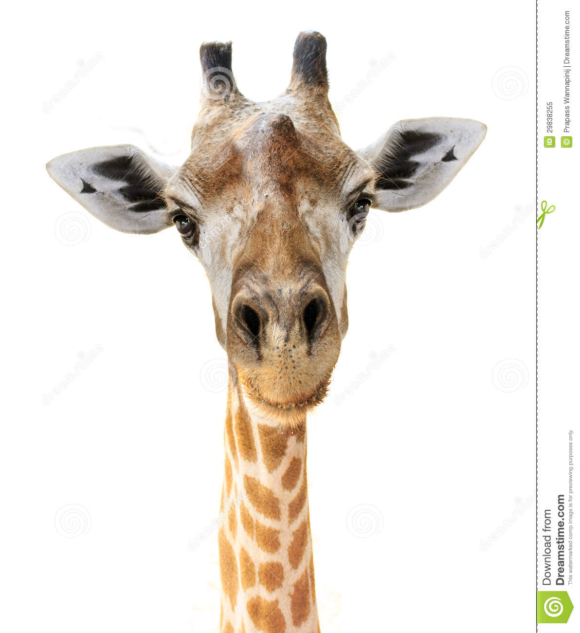 giraffe head white background - photo #8