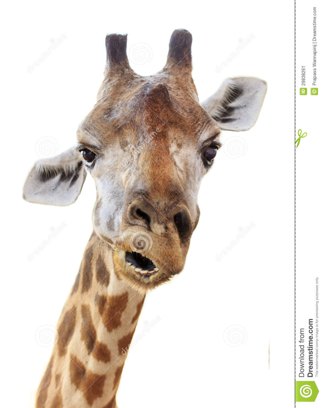 giraffe head white background - photo #20