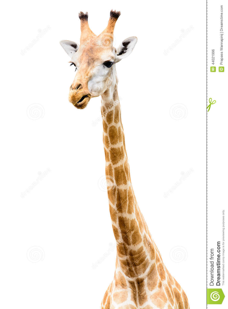 giraffe head white background - photo #4