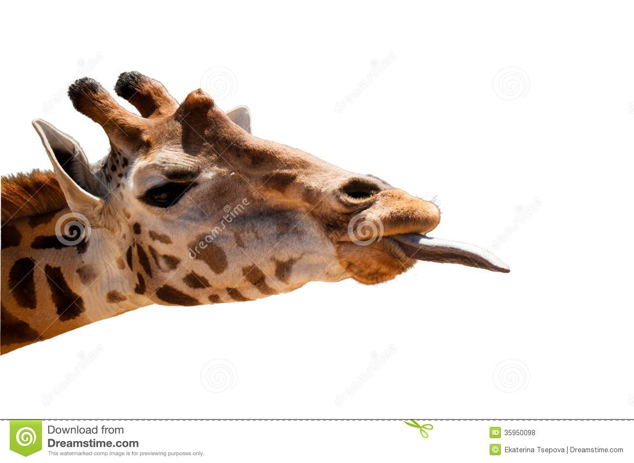 Download Giraffe head isolated stock photo. Image of camelopard - 35950098