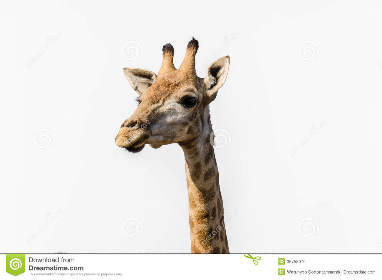 giraffe head white background -#main