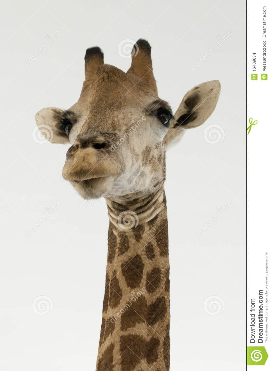giraffe head white background - photo #12