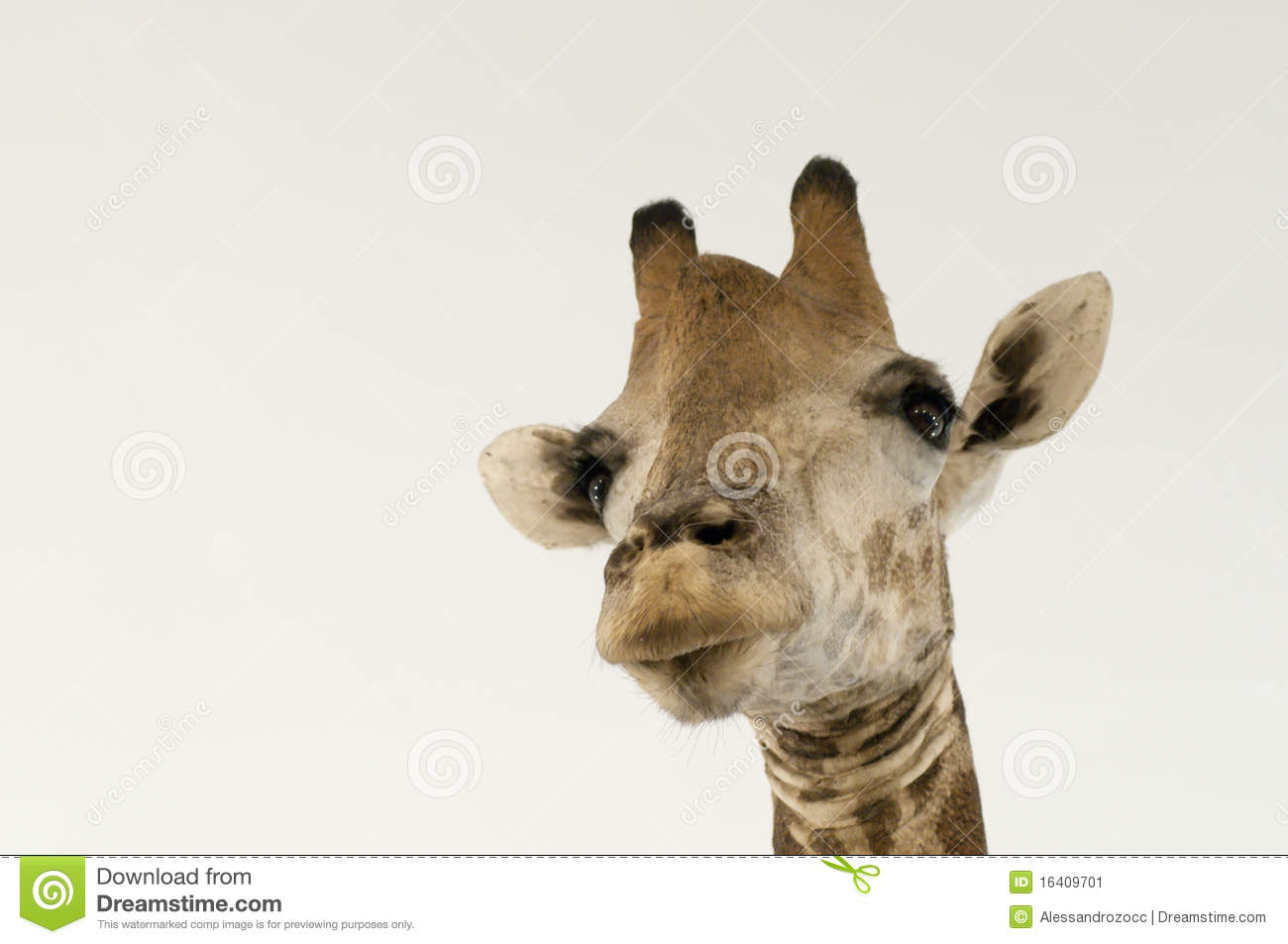 giraffe head white background - photo #23