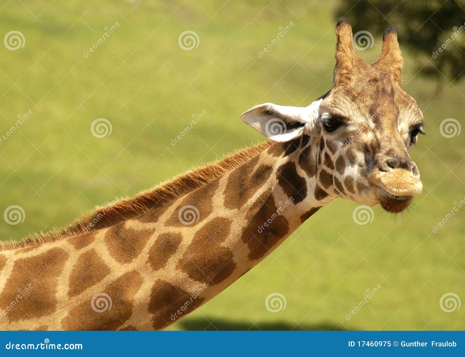 Giraffe With Heart Shaped Markings Royalty Free Stock
