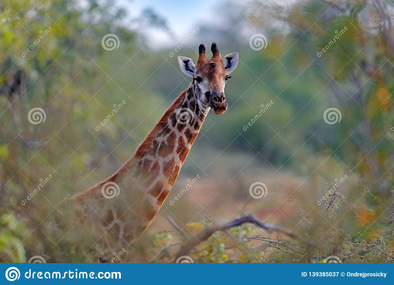 Giraffe Hidden In Orange And Green Autumn Vegetation Giraffes Head