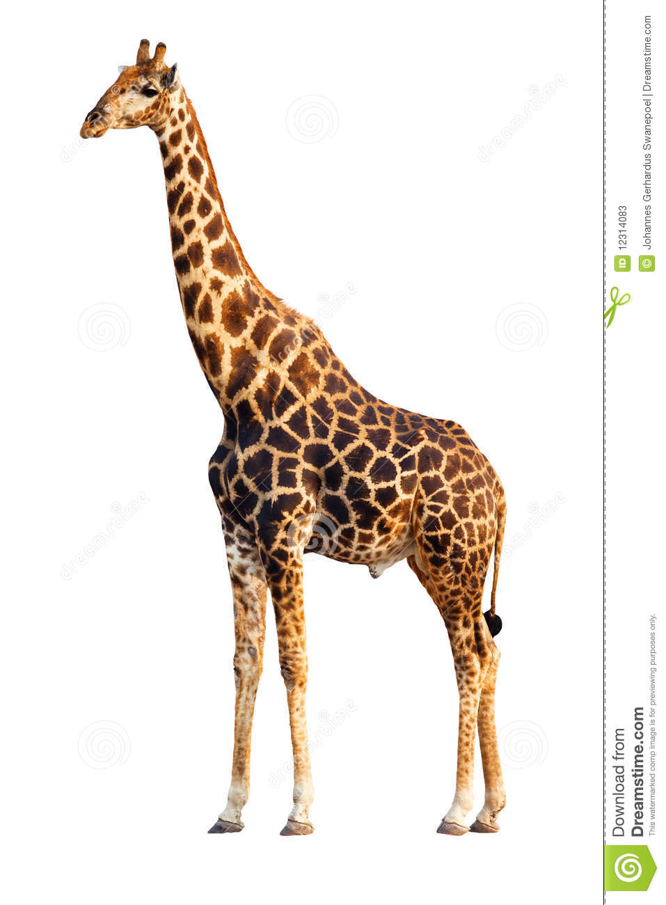 An adult Giraffe isolated against white background; Giraffa ...
