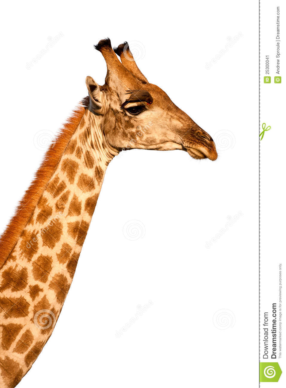 giraffe head white background - photo #26