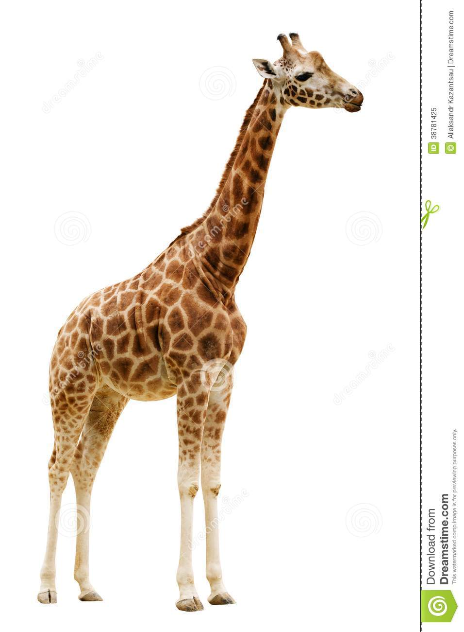 giraffe isolated on white background stock photo image Jungle Clip Art baby zebra clipart png
