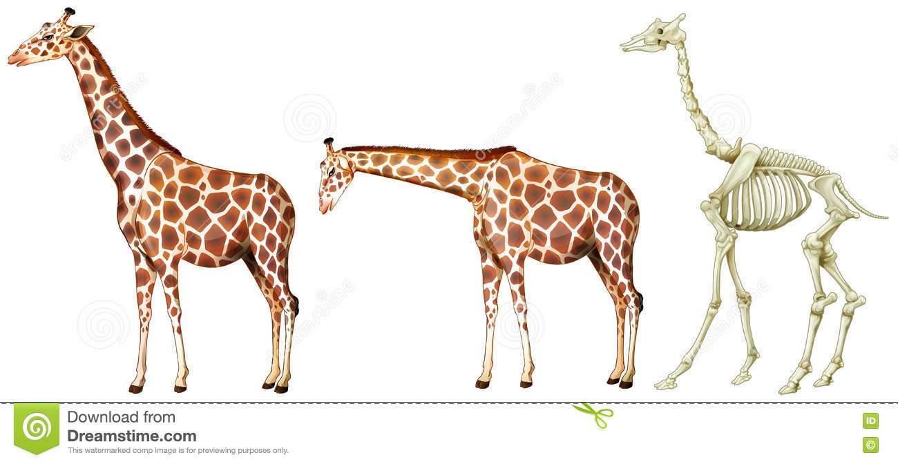 Giraffe And Its Bone Structure Stock Illustration - Illustration of ...