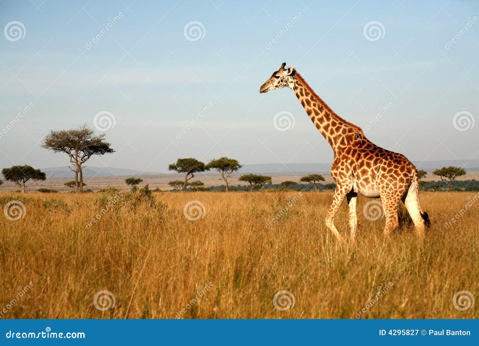 Giraffe (Kenia)