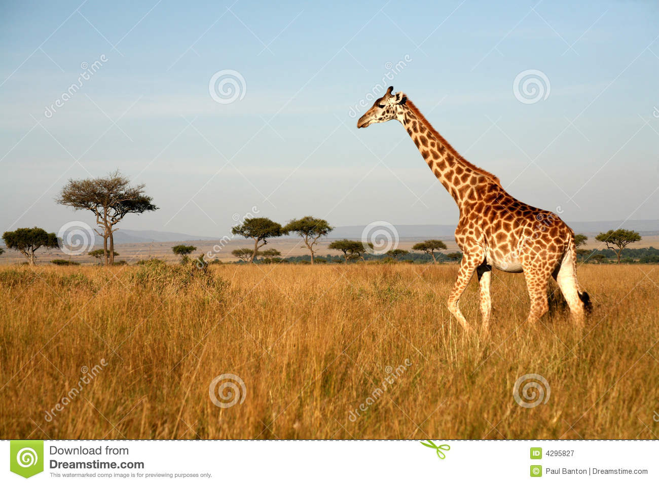 Giraffe Stock Images - Download 34,682 Royalty Free Photos | 1300 x 957 jpeg 164kB