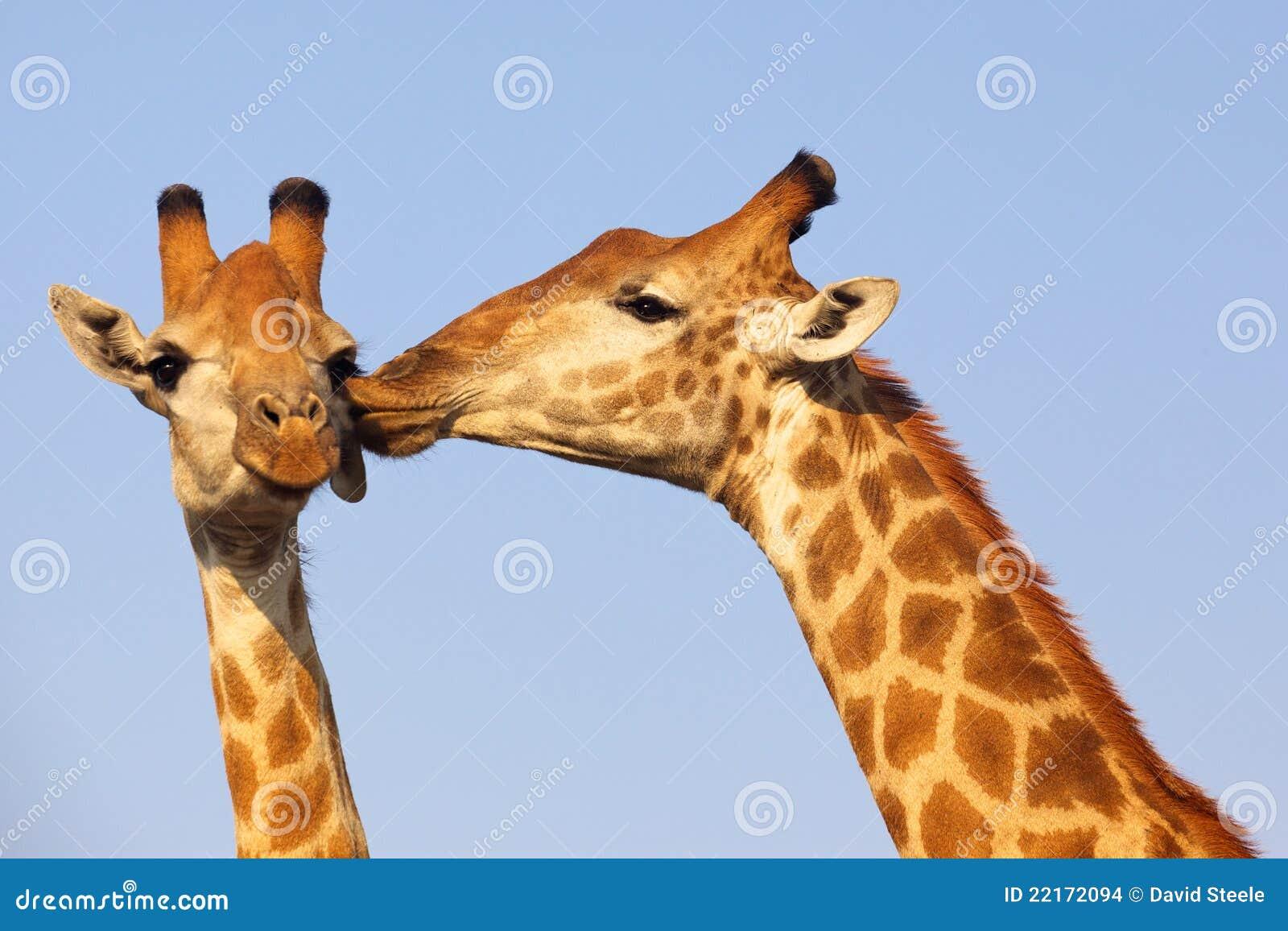 Giraffe Kiss Stock Ima...