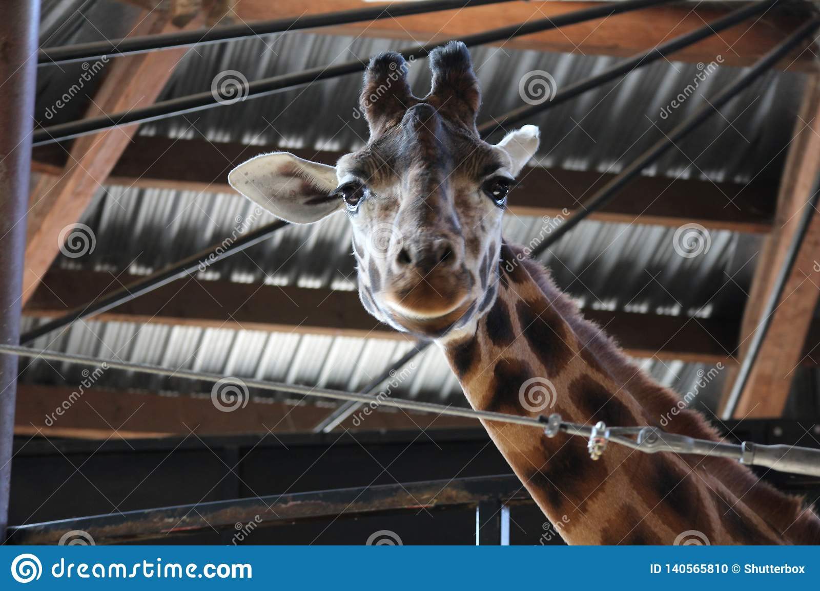 Giraffe looking at camera with grin on face