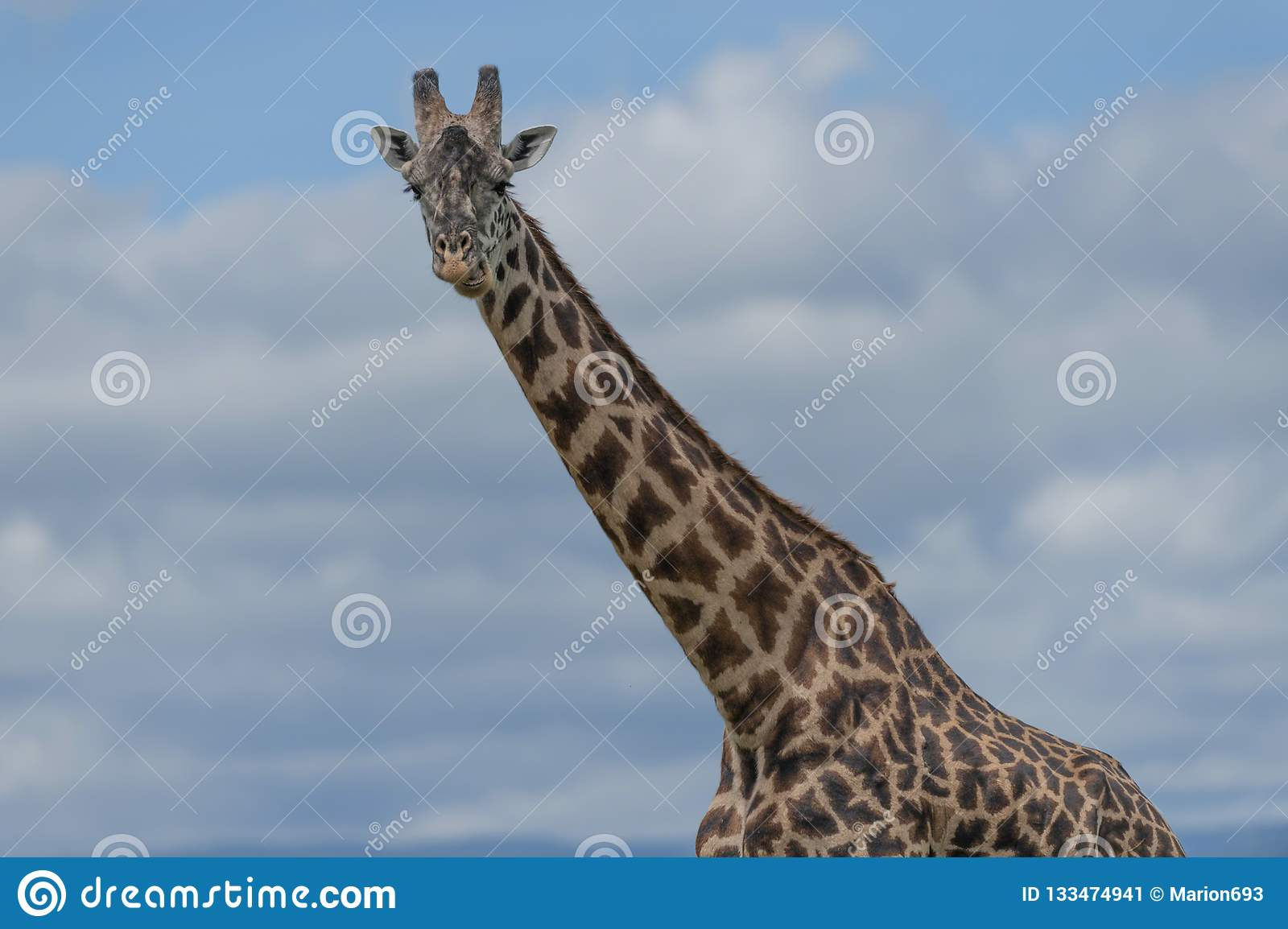 Giraffe looking at camera from right