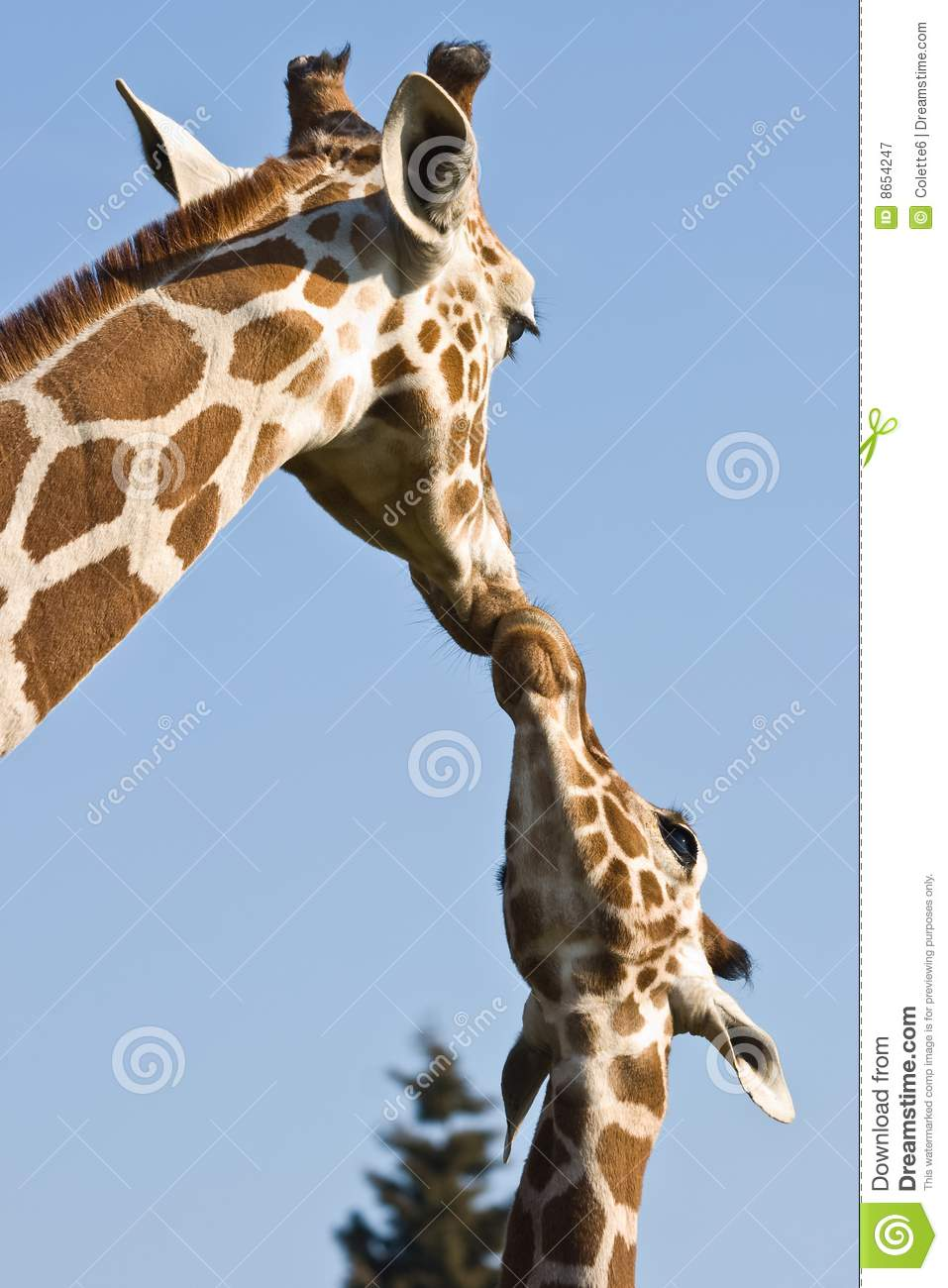 Giraffe Mother And Baby Royalty Free Stock Photography - Image ...