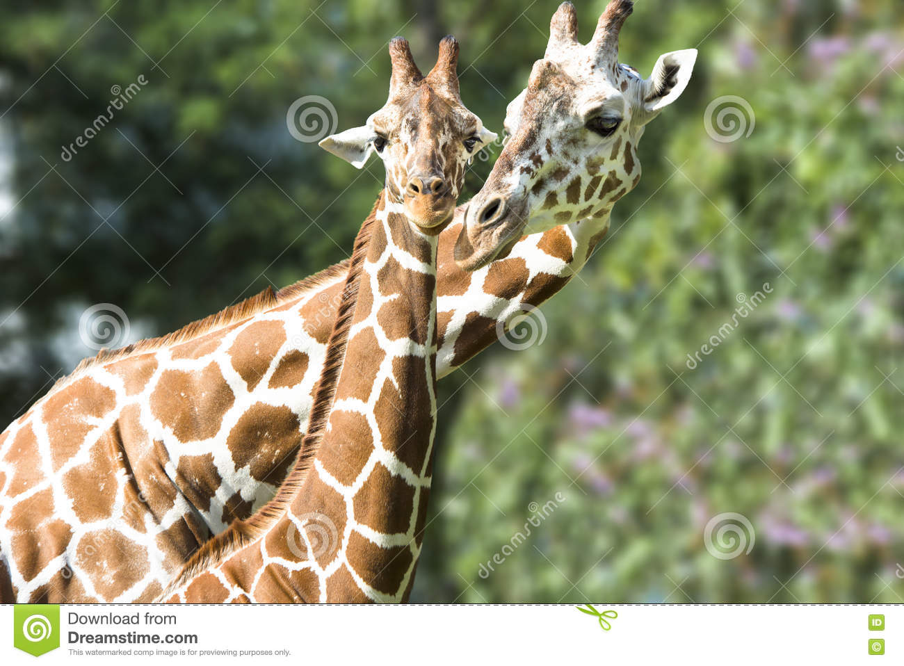 Giraffe Mother And Baby Stock Photo Image Of Horns Love 70662234