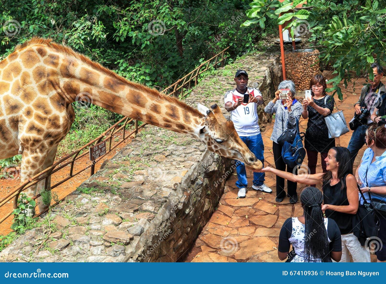 Giraffe In Nairobi Kenya