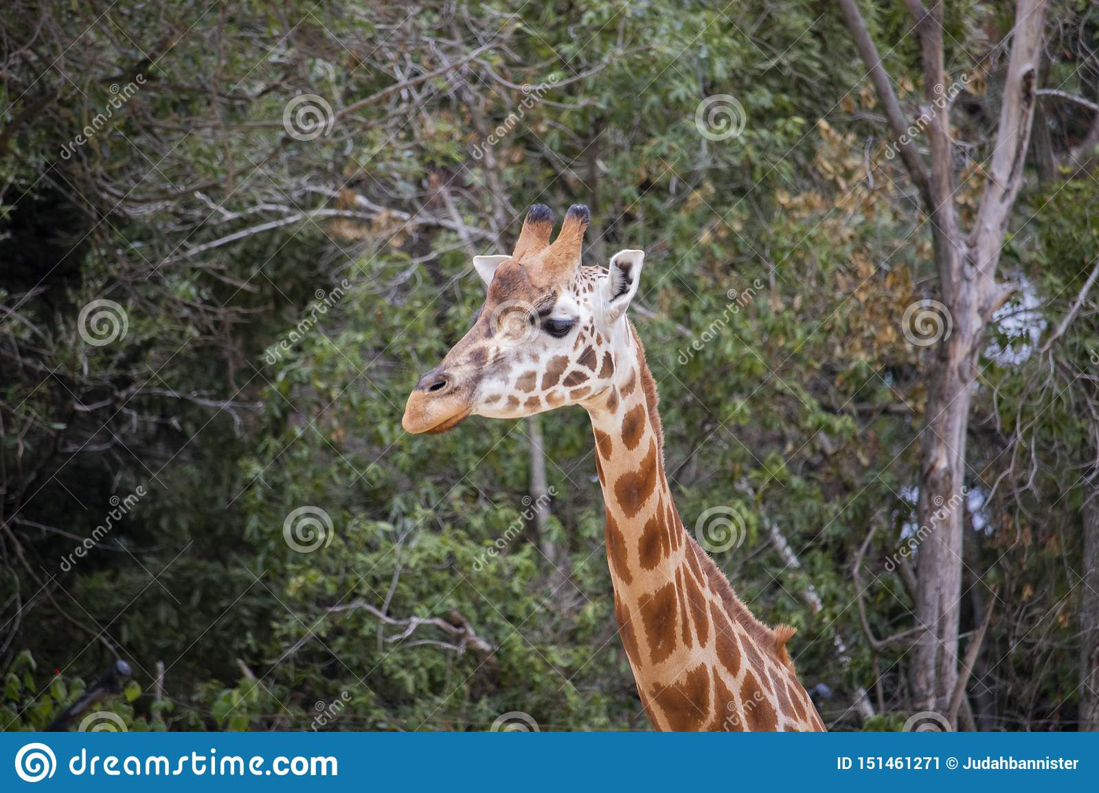 Giraffe from the neck up