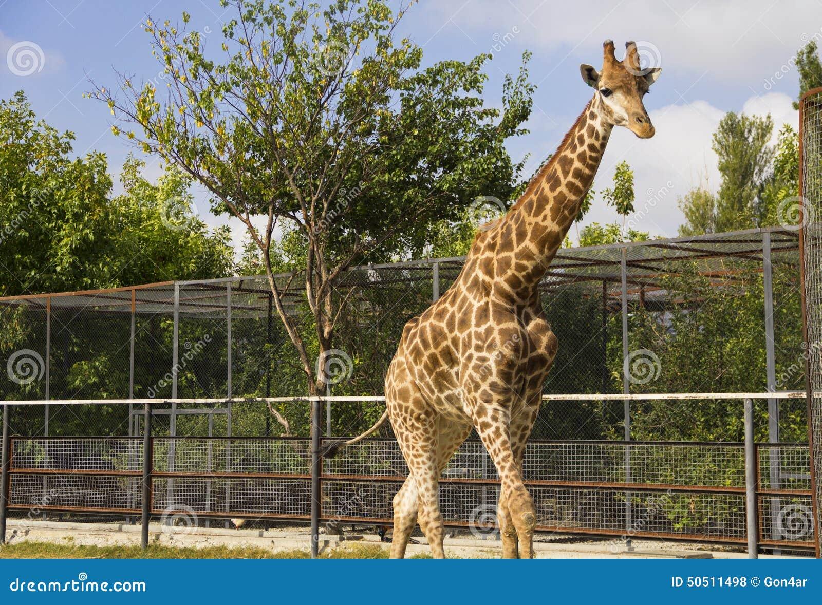 Giraffe no jardim zoológico