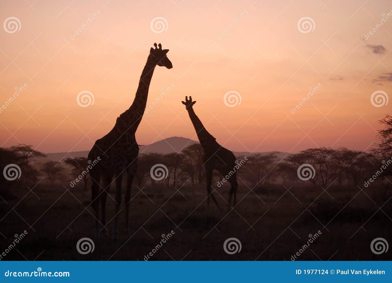 Giraffe no por do sol