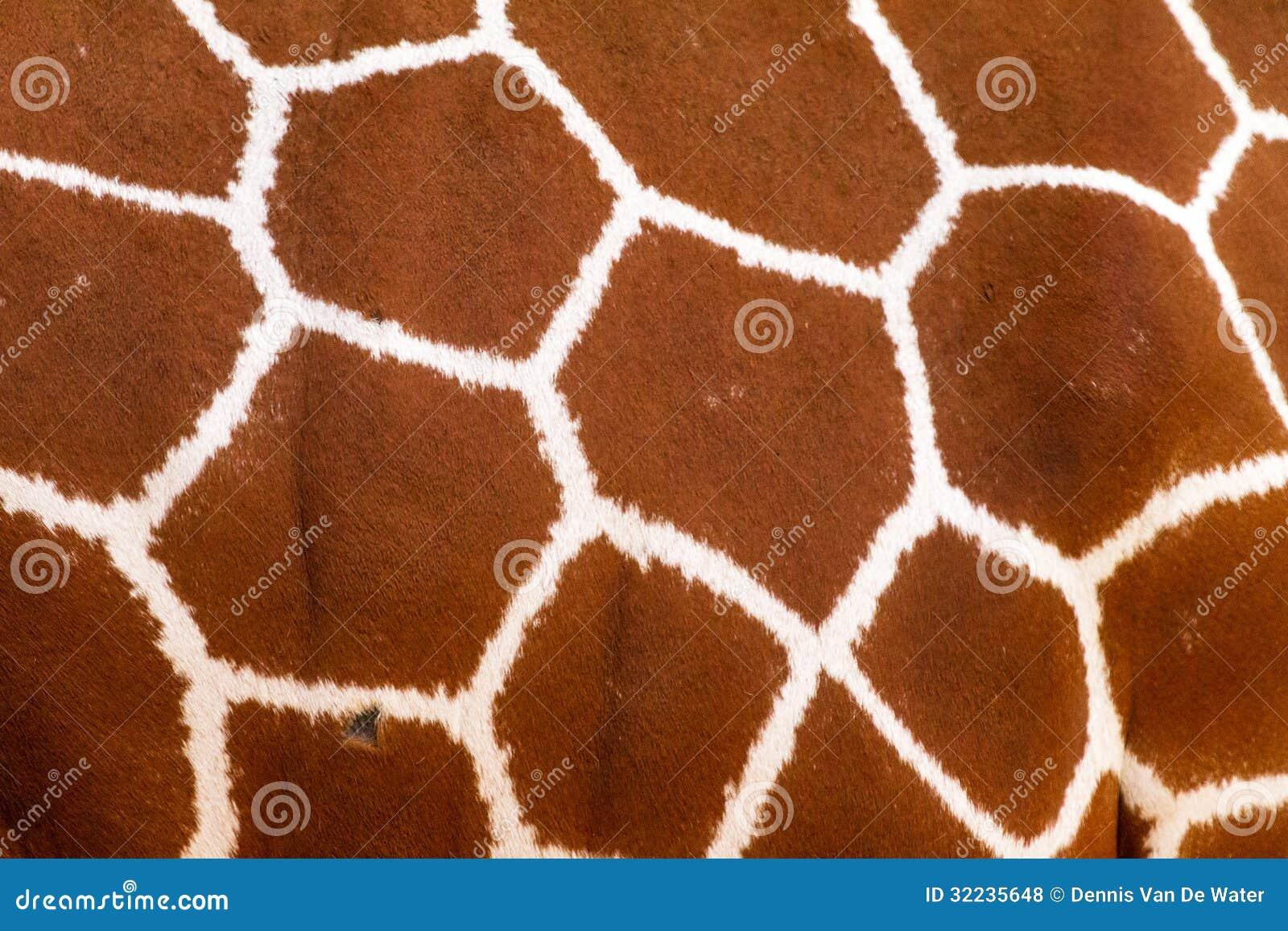 giraffe pattern stock photo  image of wildlife  nature