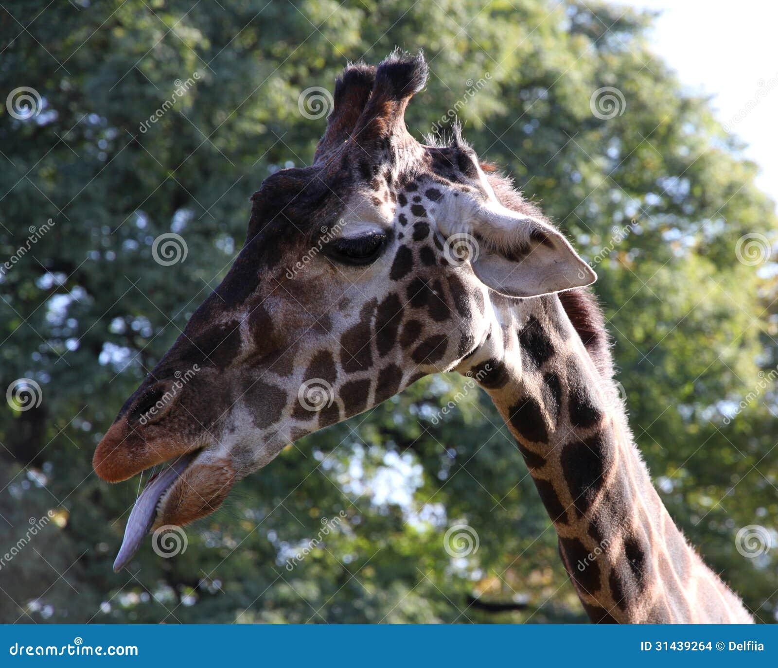Giraffe Portrait In A ...