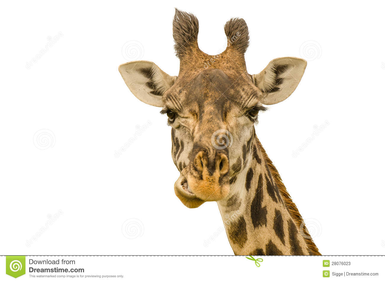 giraffe head white background - photo #7