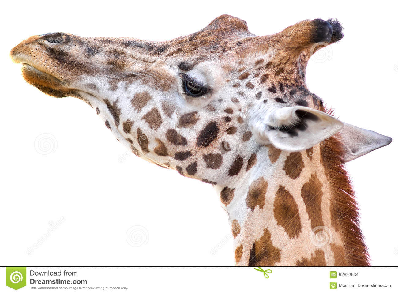 Giraffe portrait on white background