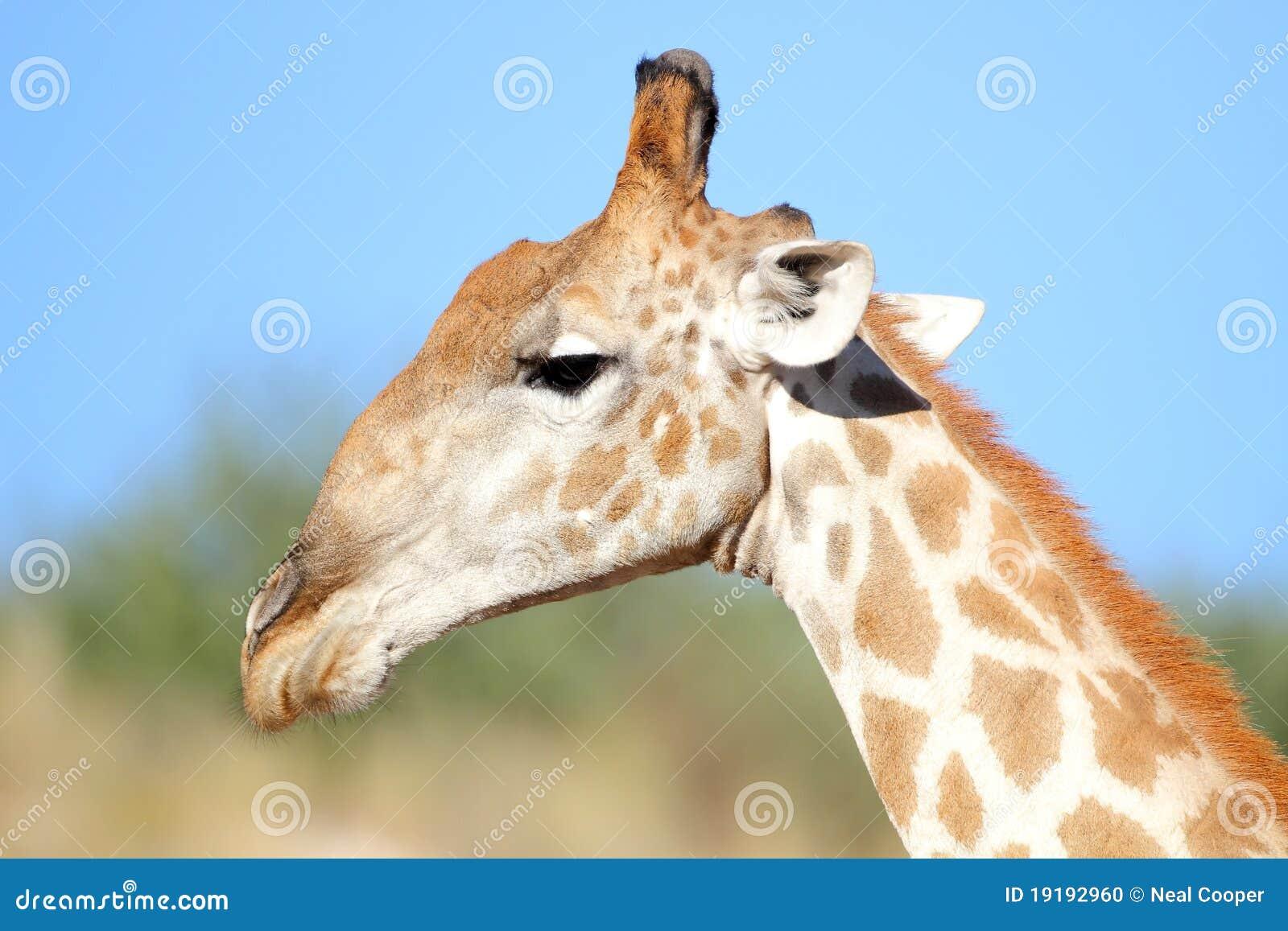 Giraffe Profile Stock ...