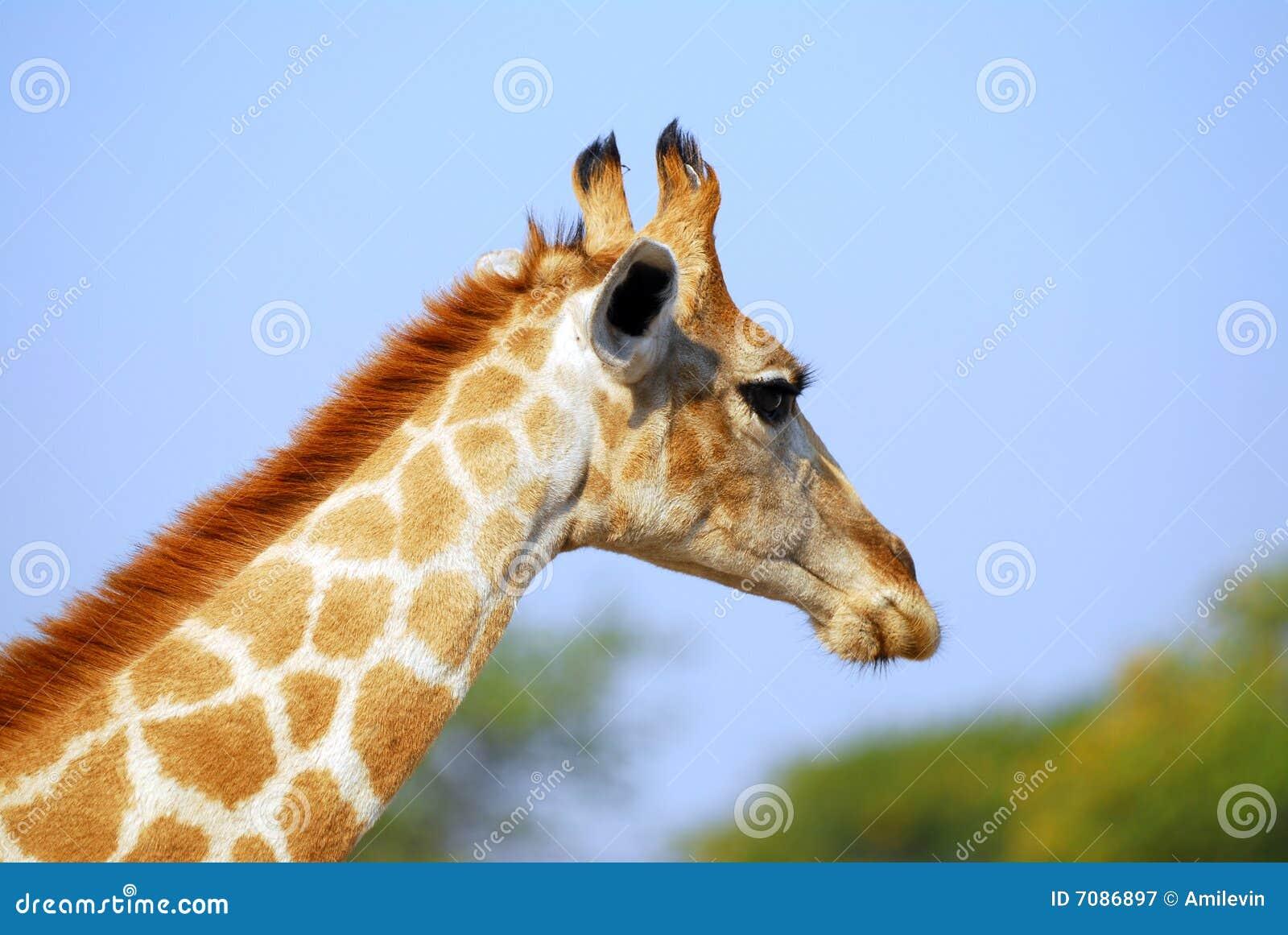 Giraffe Profile Royalt...