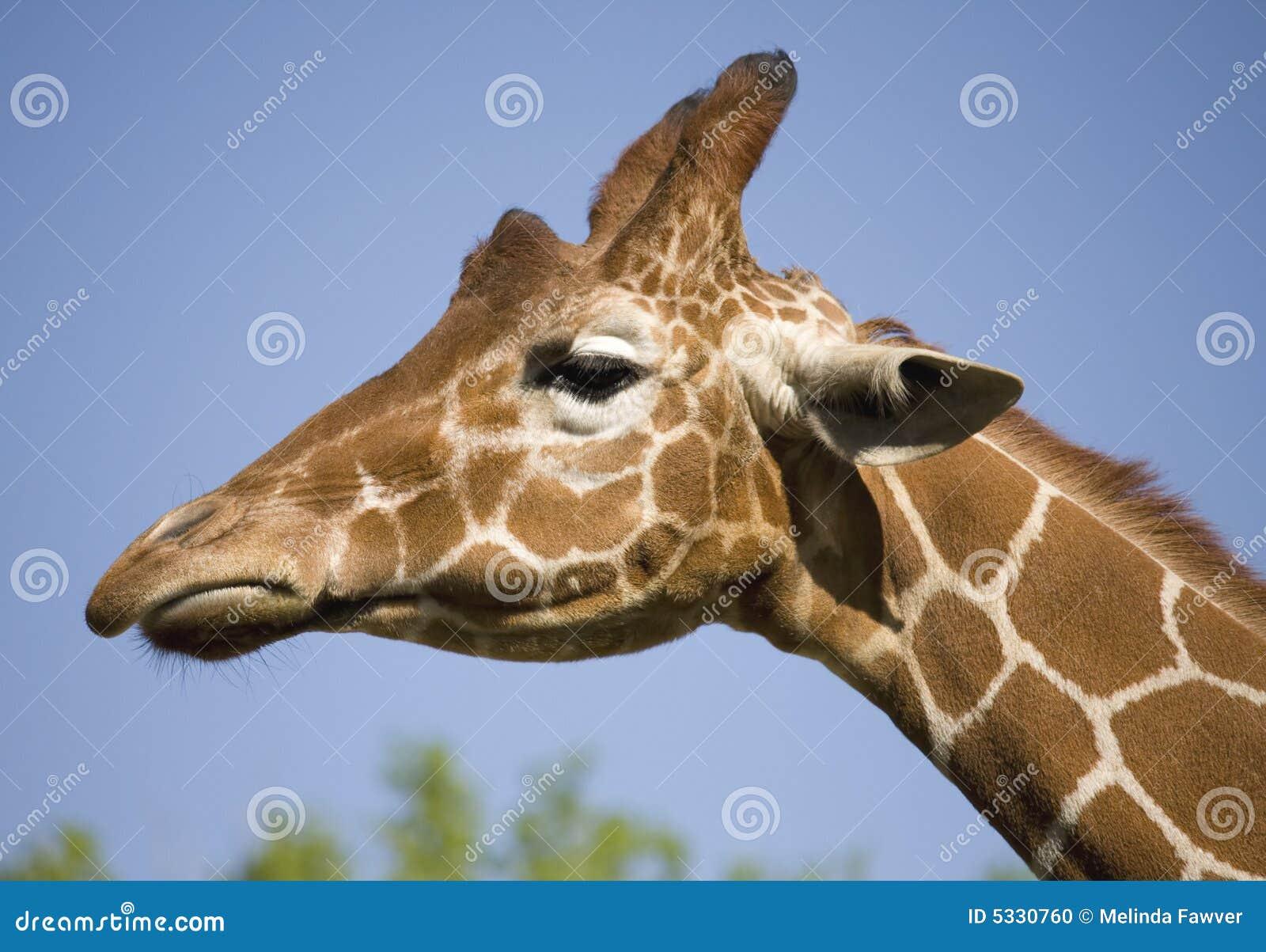 Giraffe Profile Head P...