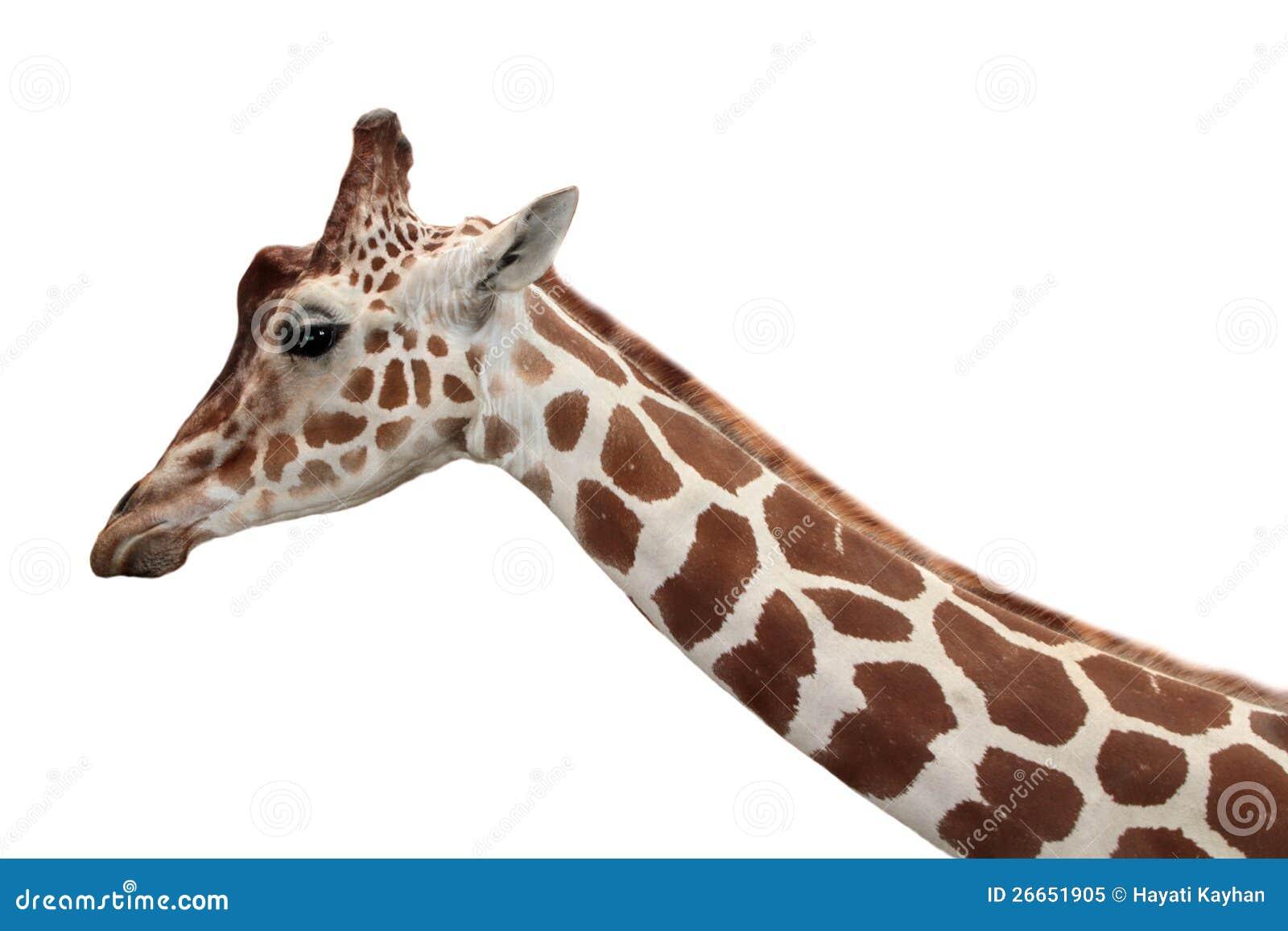 Giraffe Profile Portra...