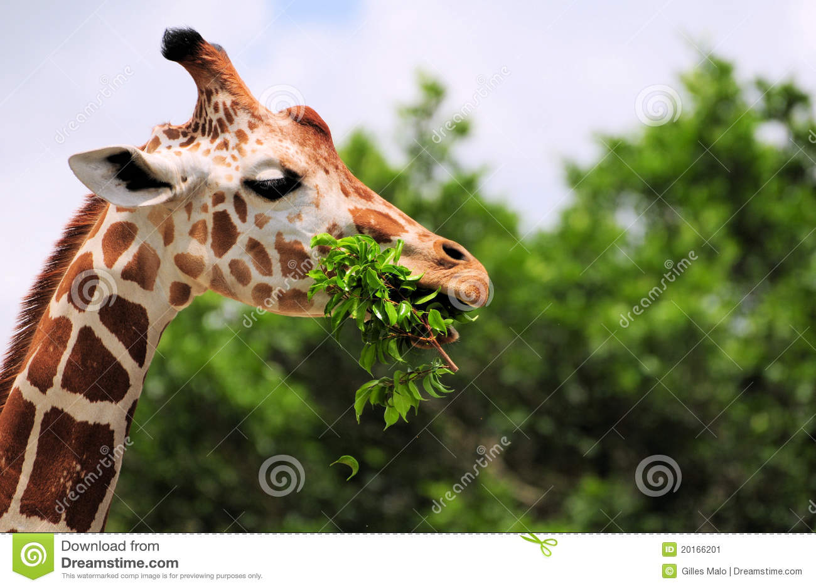 Giraffe que come as folhas