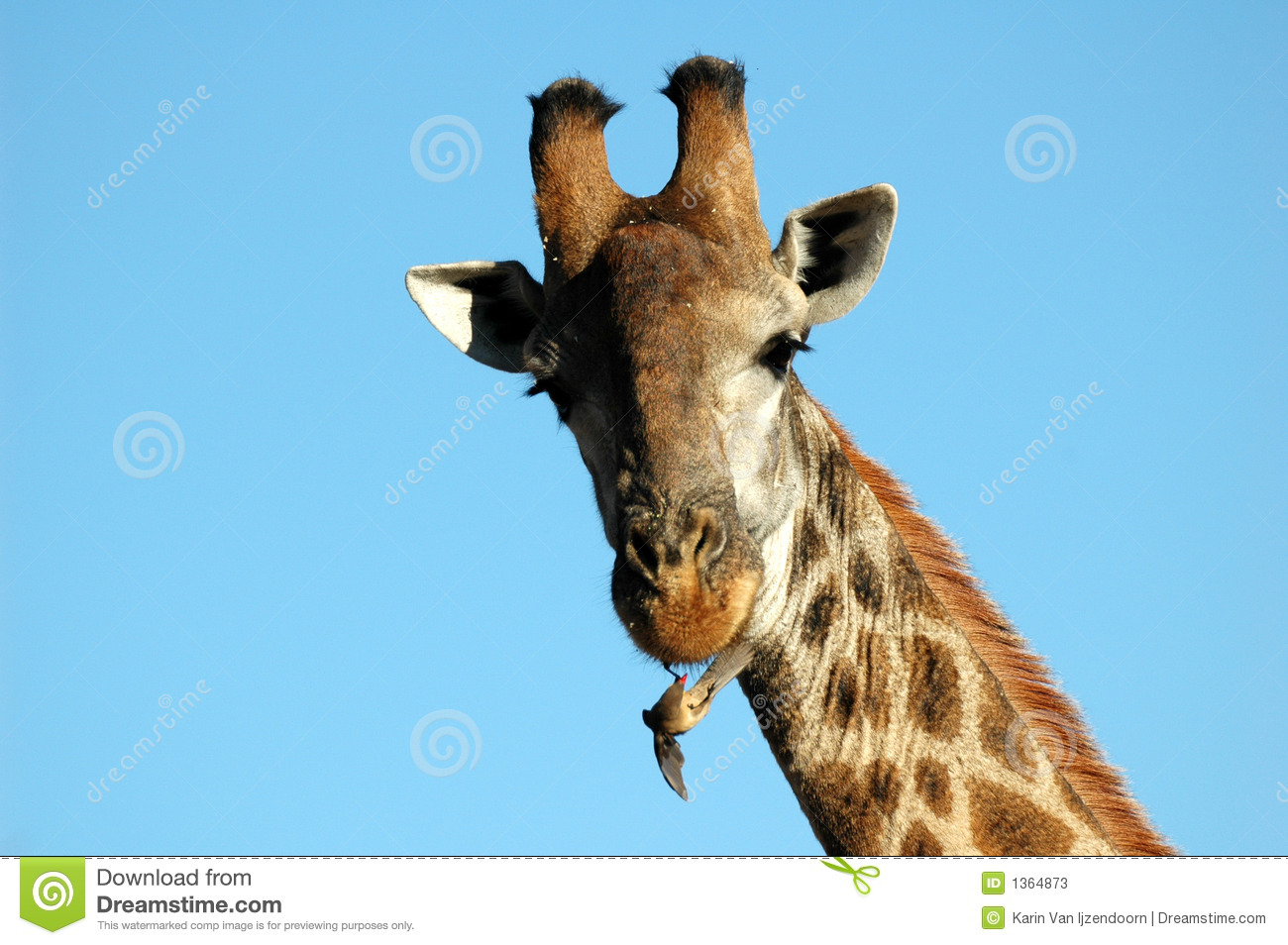 red billed oxpecker and giraffe relationship
