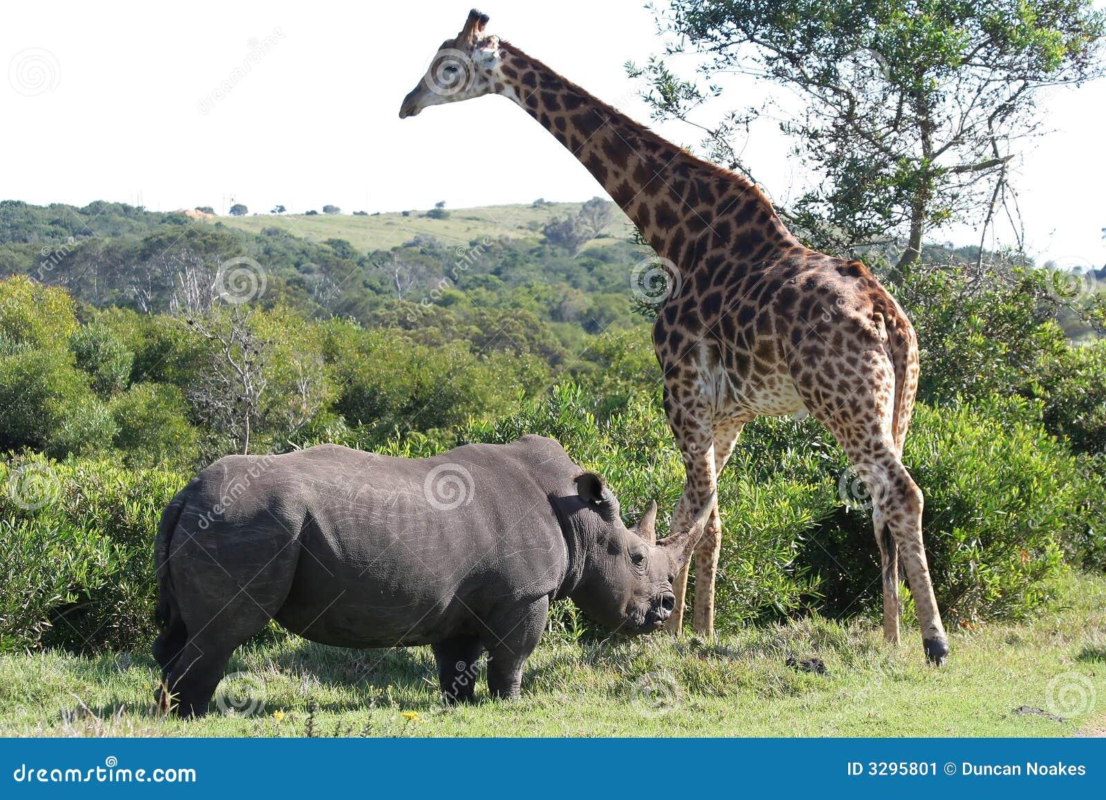 Giraffe and Rhino