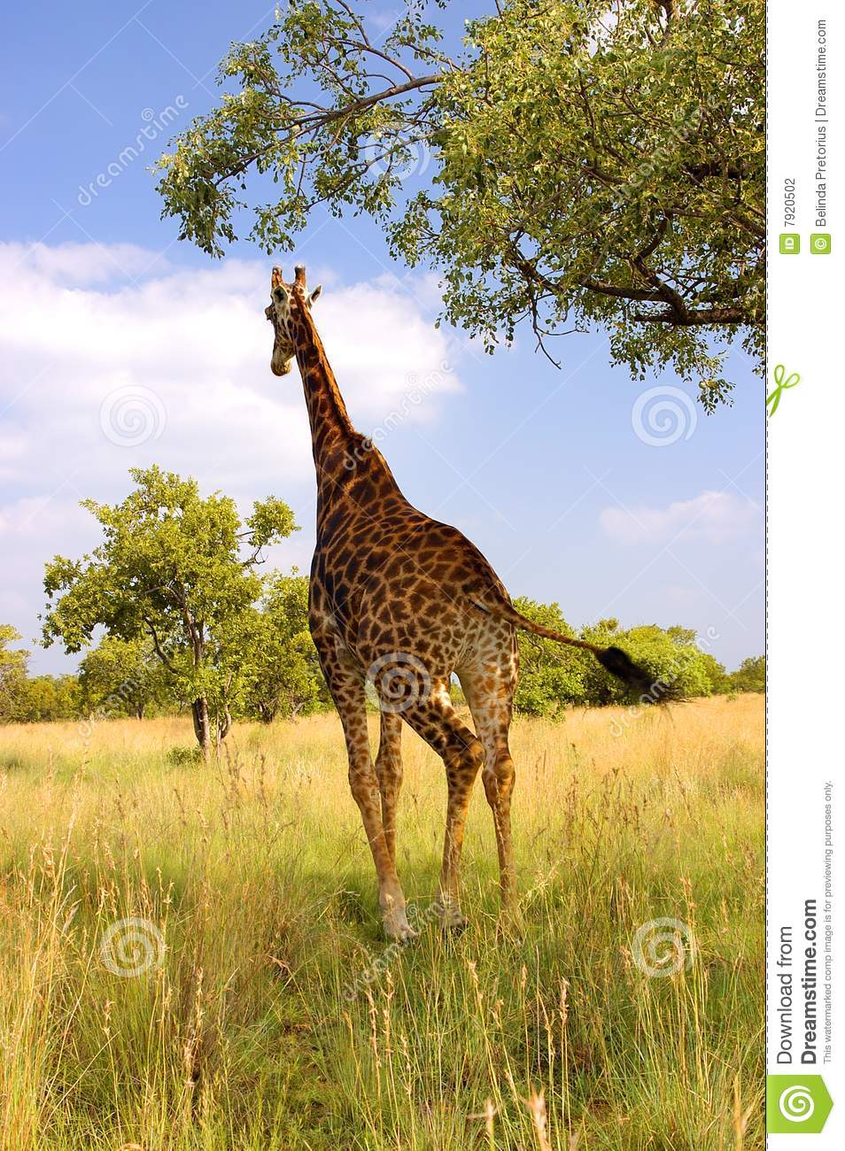 A Giraffe Running In H...