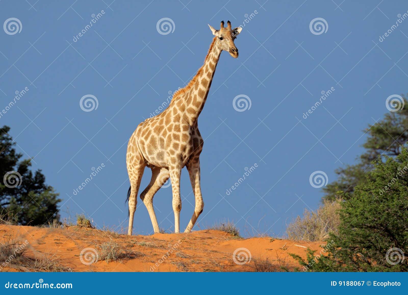 Giraffe on sand dune, Kalahari desert