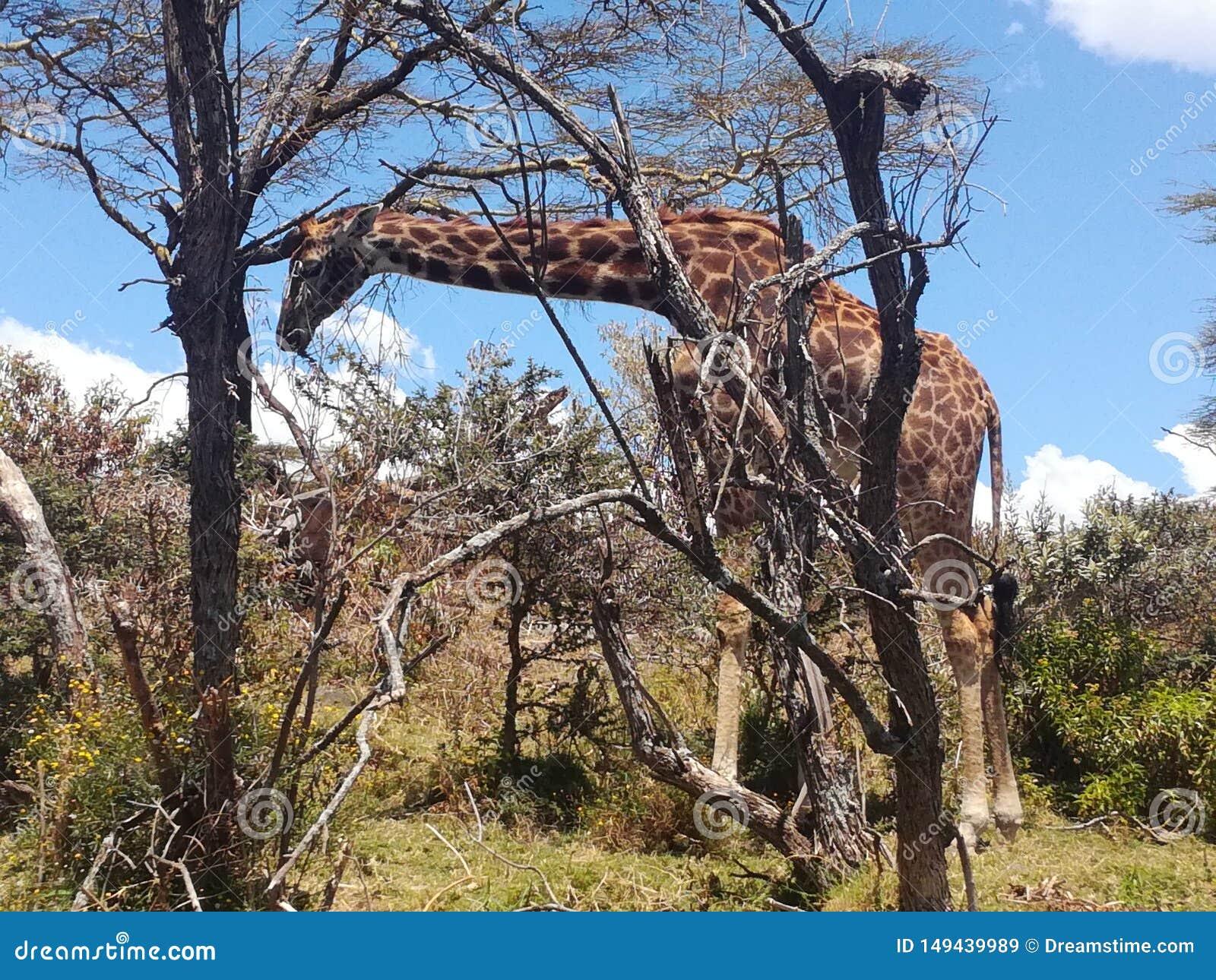 Giraffe, See Naivasha Kenia