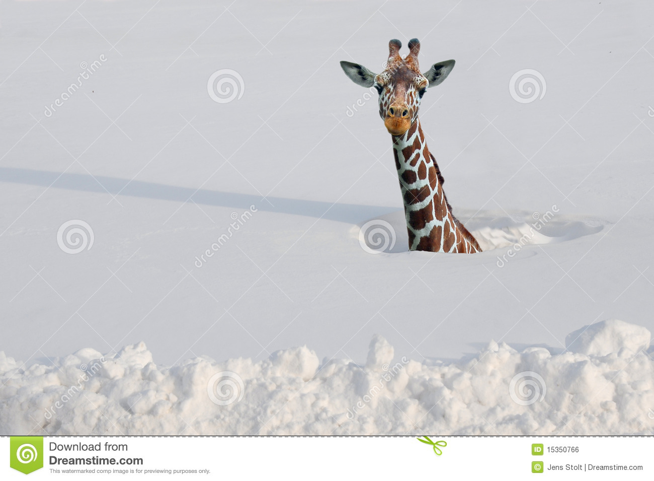 giraffe stock photos images u0026 pictures 25 097 images