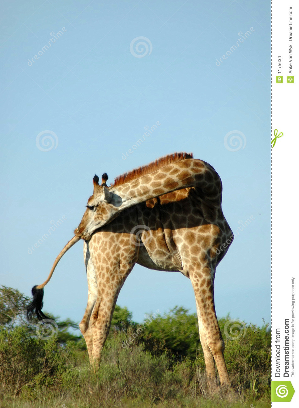 Giraffe In South Africa Stock Images Image 1175634