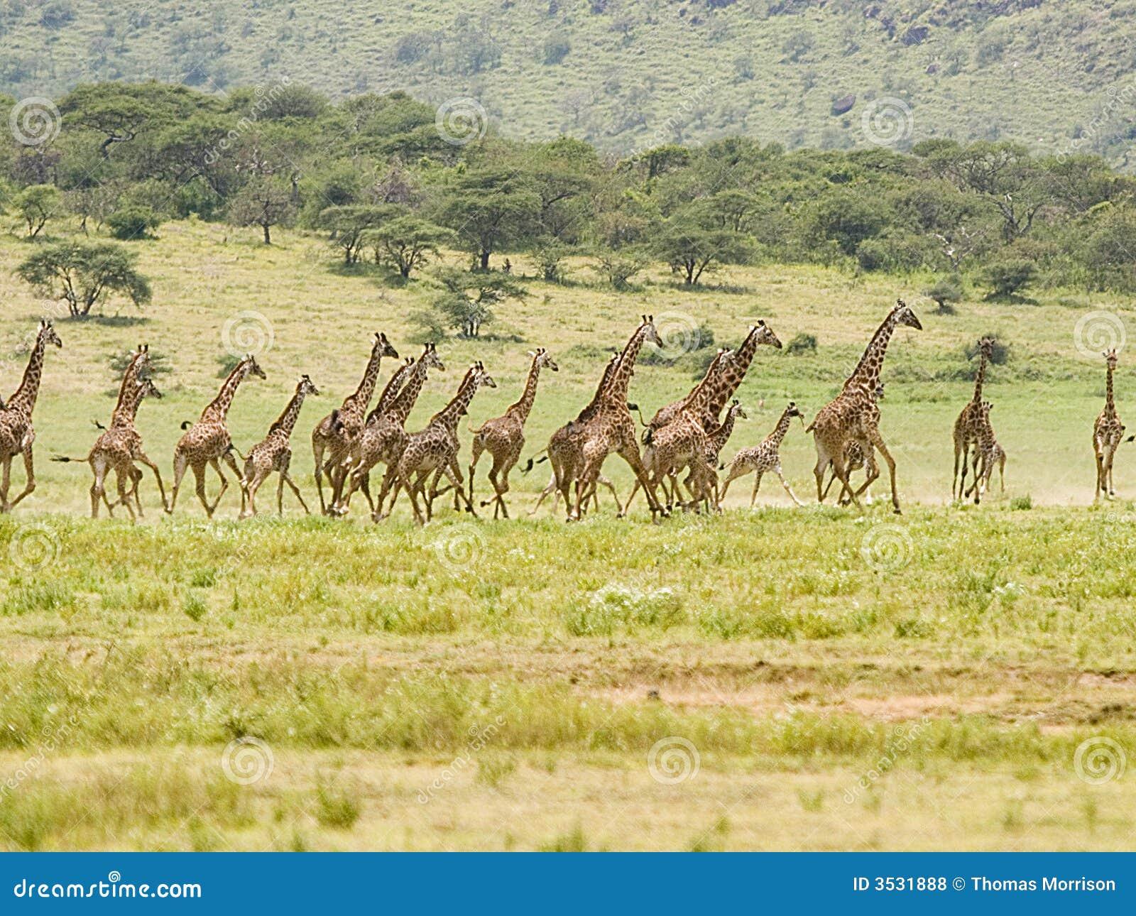 Giraffe Stampede Royalty Free Stock Photos Image 3531888
