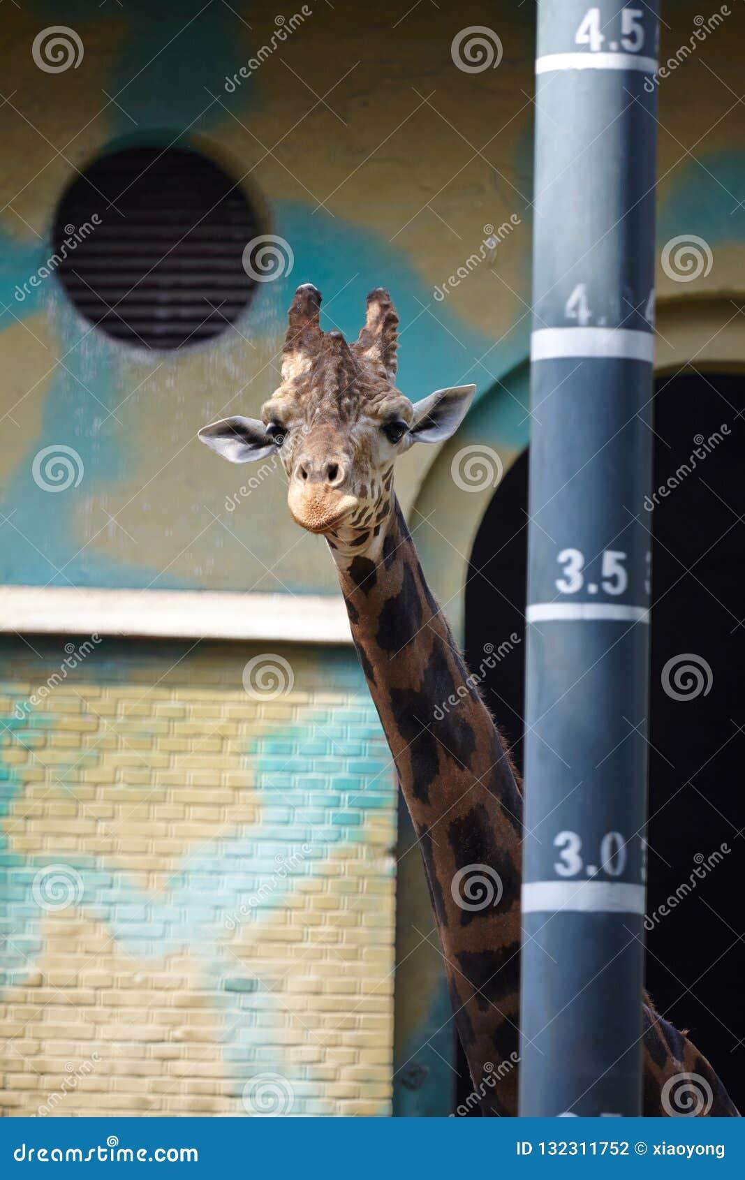 A giraffe standing beside a height measurement pole