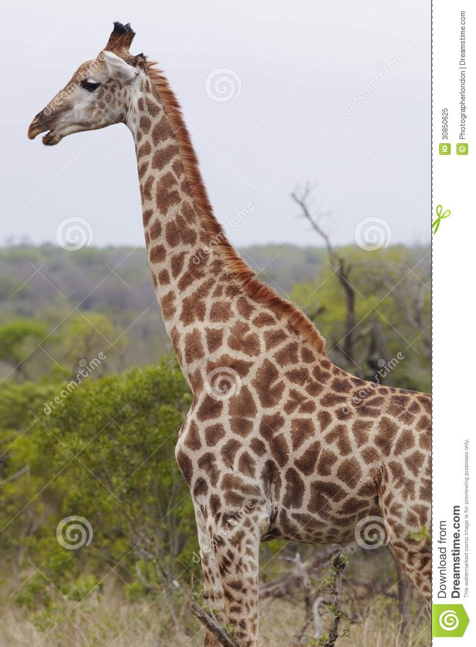 Giraffe Stands Side View Profile Royalty Free Stock Photo