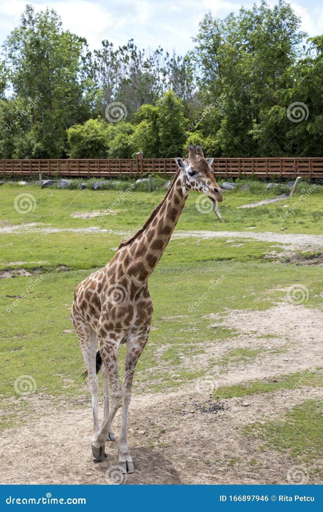 Giraffe Sticking The Tongue At The Zoo Stock Photo - Image
