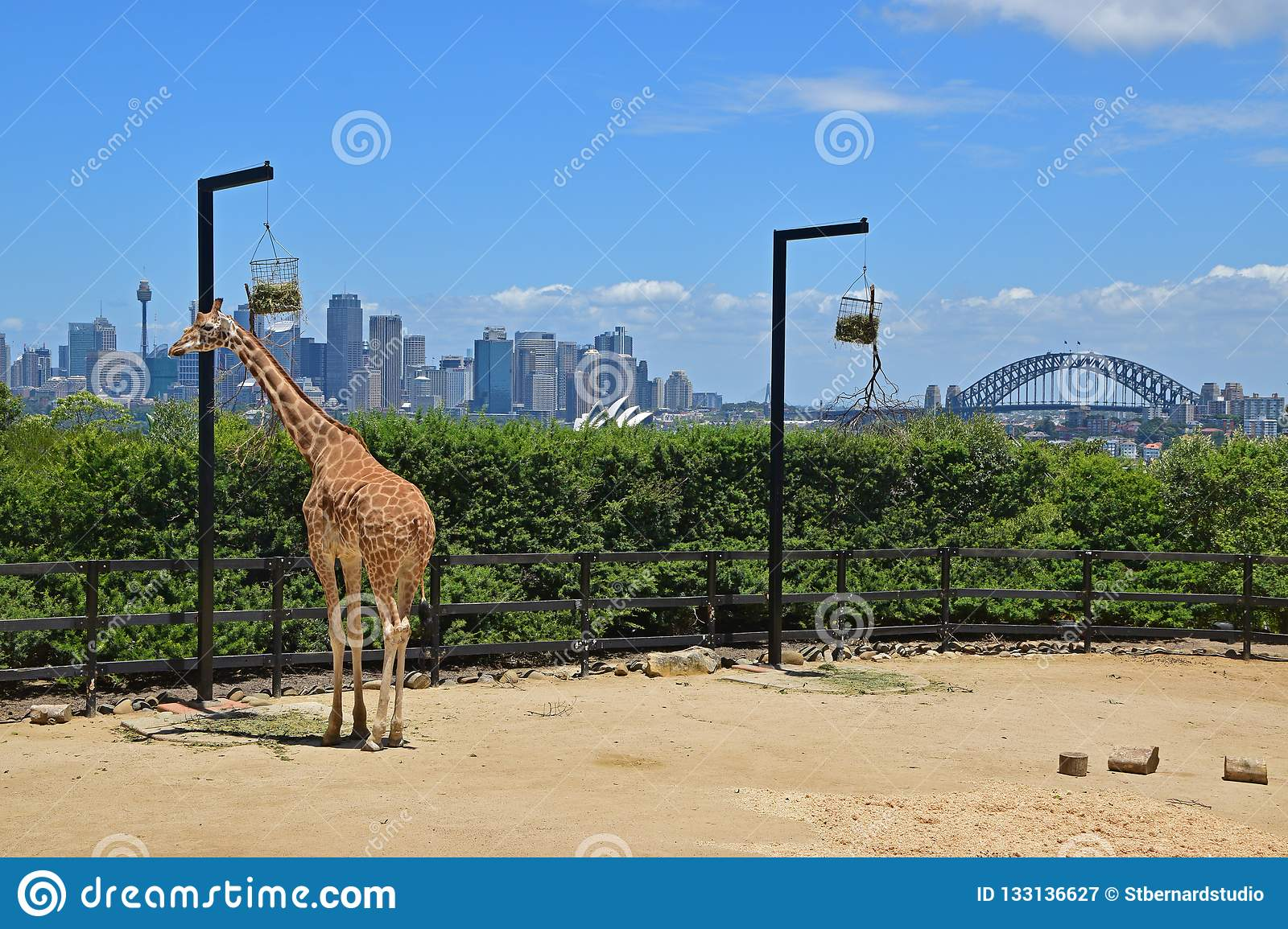 Giraffe in Taronga Zoo eating food from the hanging basket with magnificent view of Sydney