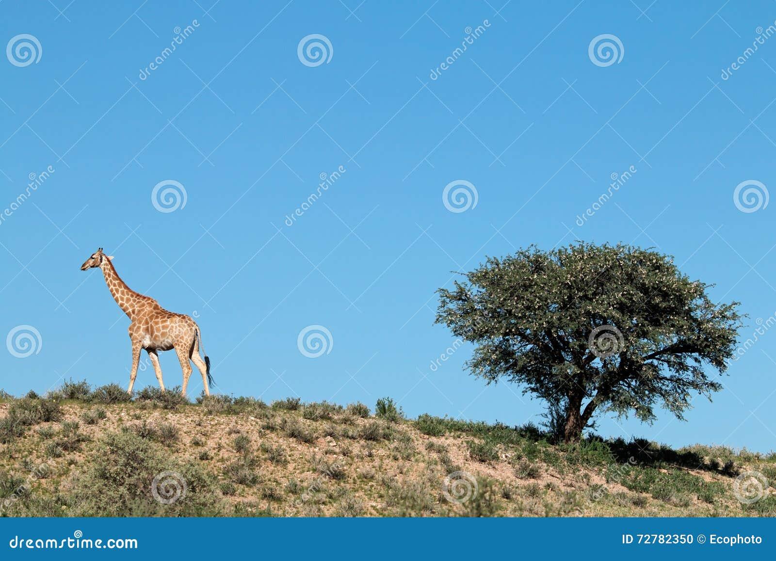 Giraffe and thorn tree