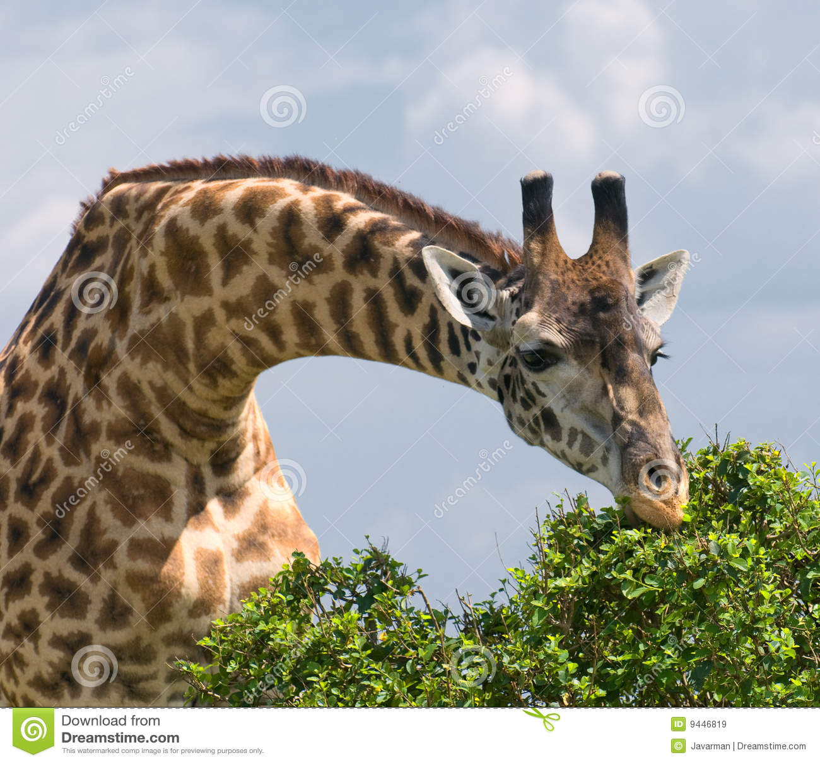 Giraffe and a tree, african wildlife, safari