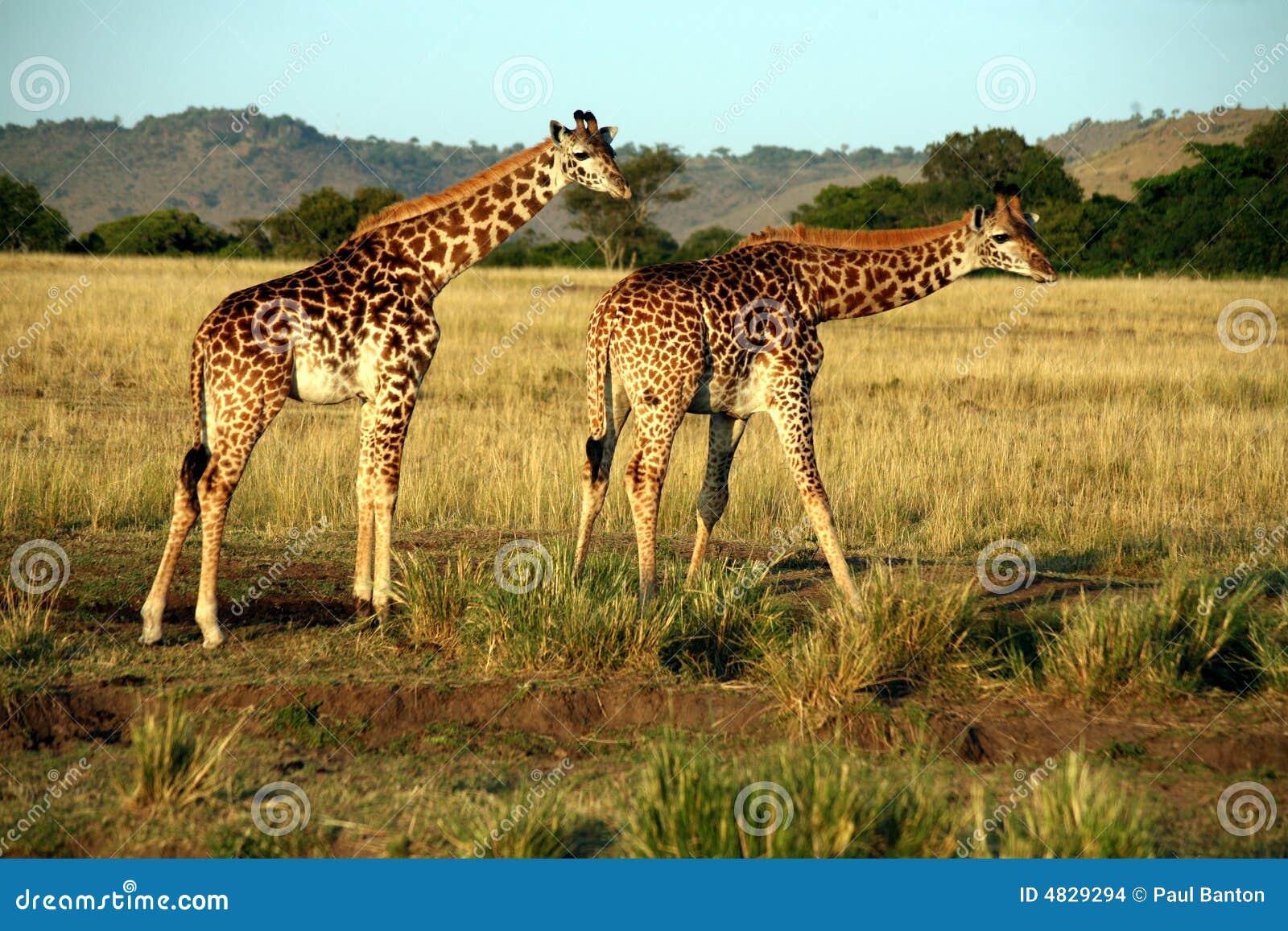 Giraffe-Trinken (Kenia)